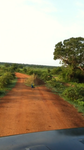Сафари, павлин разгуливает на живой природе.