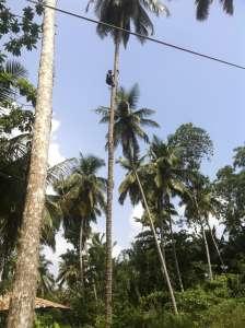 Собиратели кокосов.